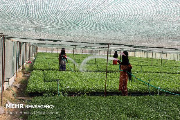 62 درصد تسهیلات اشتغال روستایی در جهاد کشاورزی ایلام جذب شد