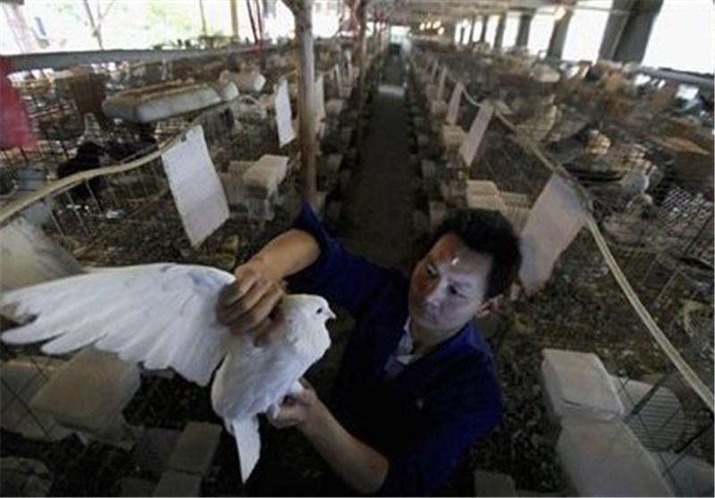 آنفولانزای مرغی در شرق چین همچنان قربانی می گیرد