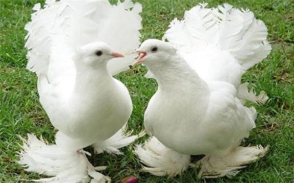 کبوترهای میلیونر